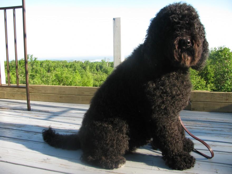 Barbet Margot fluffy après le bain: Non, mais, il y a un ours sur le balcon?