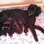 barbet Margot et ses 8 barbichons