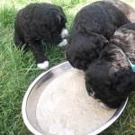 Barbet bleu-gris: Mes frères mangent comme des gloutons!!