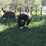 Barbet brun: À l'assaut!