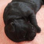 Barbichonne noire dans un sommeil profond